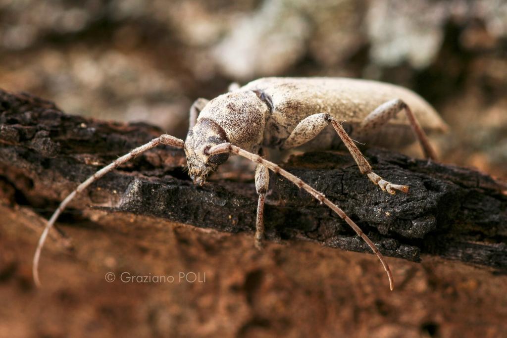 Capricorno delle case - Trichoferus holosericeus - Disinfestazione tarli