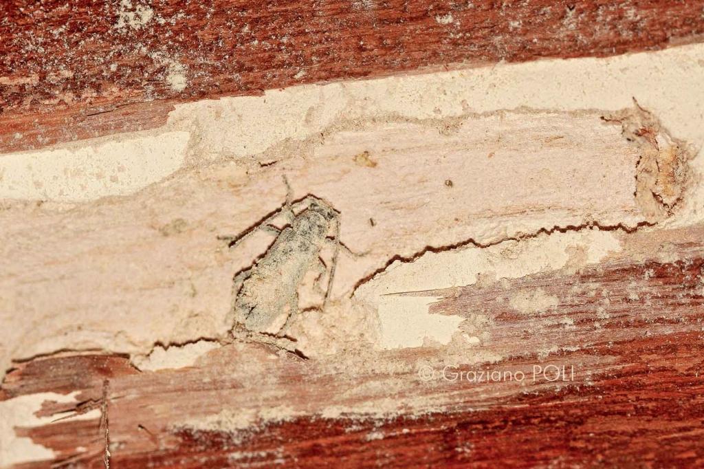Capricorno delle case - Trichoferus holosericeus - insetto adulto con esuvia nella camera pupale