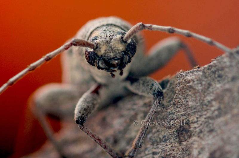 Capricorno delle case - Trichoferus holosericeus  - insetto adulto