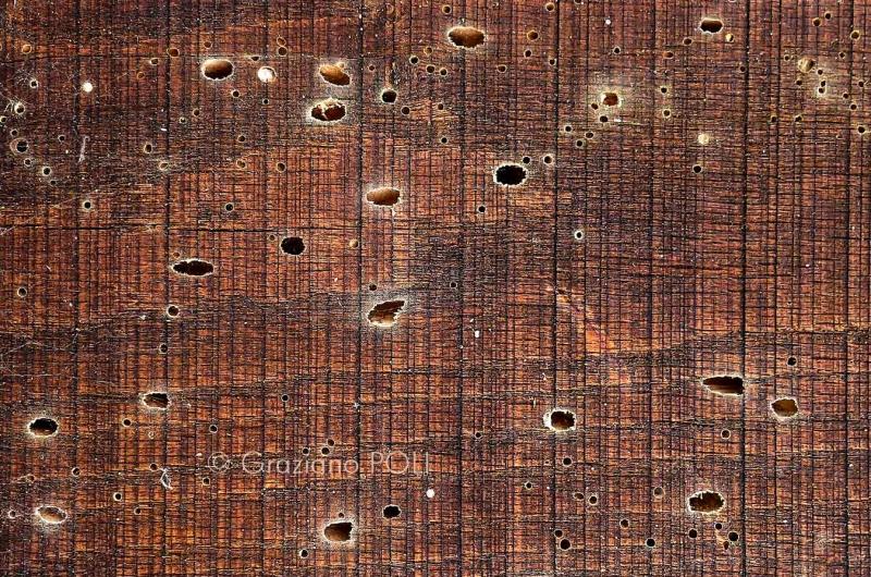 tarli del legno - fori di sfarfallamento