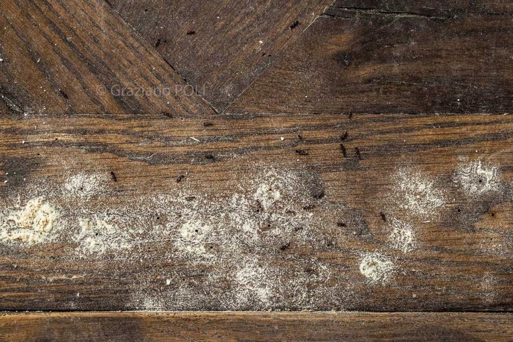 Tarli del legno e Tarme del Legno: due insetti da non confondere
